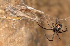 Zwarte weduwespin en vangst De zwarte weduwen zijn bekende die spinnen door het gekleurde, zandloper-vormige teken op hun buiken  Royalty-vrije Stock Afbeelding