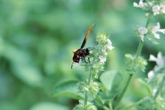 Zwarte wesp met bruine vleugels stock foto's