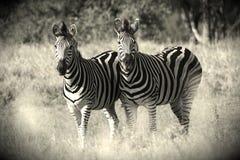 Zwarte & Wit Royalty-vrije Stock Afbeeldingen