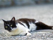 Zwarte witte binnenlandse kat Stock Afbeelding