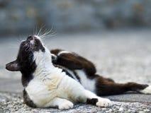 Zwarte witte binnenlandse kat Stock Fotografie