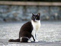 Zwarte witte binnenlandse kat Stock Foto