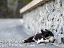 Zwarte witte binnenlandse kat Royalty-vrije Stock Foto's