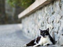Zwarte witte binnenlandse kat Stock Foto's