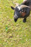 Zwarte witte bruine geit op het gras in de tuin Achtergrond stock afbeeldingen