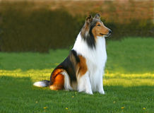 Zwarte, witte en rode hond Stock Foto's