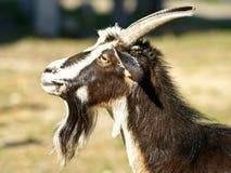 Zwarte witte geit royalty-vrije stock fotografie