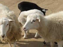 Zwarte, witte schapen Royalty-vrije Stock Foto