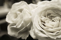 Zwarte Witte Tuinrozen Stock Afbeelding