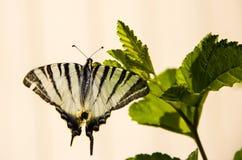 Zwarte witte vlinder in de wildernis Royalty-vrije Stock Fotografie