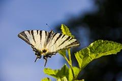 Zwarte witte vlinder in de wildernis Stock Foto