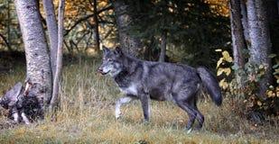 Zwarte wolf Stock Foto