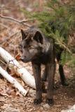 Zwarte Wolf Royalty-vrije Stock Afbeeldingen