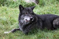 Zwarte wolf Stock Afbeelding