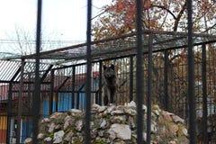 Zwarte wolf in kooi Stock Foto