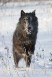 Zwarte wolf met heldere ogen Royalty-vrije Stock Foto's