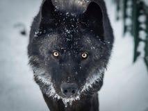 Zwarte wolfe op de sneeuw stock afbeelding
