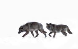 Zwarte wolven op een witte sneeuwachtergrond Stock Afbeeldingen