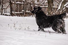 Zwarte yardhond, met ruwharig haar, Retriever De winter, ijzig weer en heel wat witte sneeuw royalty-vrije stock foto