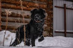 Zwarte yardhond, met ruwharig haar, Retriever De winter, ijzig weer en heel wat witte sneeuw stock fotografie