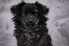 Zwarte yardhond, met ruwharig haar, Retriever De winter, ijzig weer en heel wat witte sneeuw stock foto