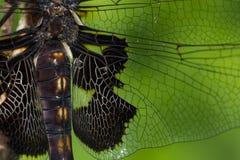 Zwarte Zadeltassenlibel Royalty-vrije Stock Foto's