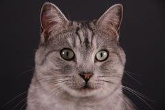Zwarte Zilveren Gestreepte kat royalty-vrije stock afbeelding