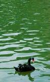 Zwarte zwaan Stock Afbeeldingen
