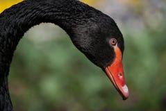 Zwarte zwaan Stock Fotografie