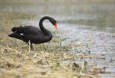 Zwarte zwaan stock afbeelding