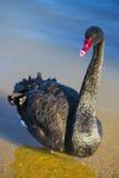 Zwarte zwaan Royalty-vrije Stock Afbeeldingen