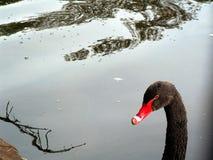 Zwarte zwaan Royalty-vrije Stock Foto