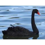 Zwarte zwaan royalty-vrije stock foto's