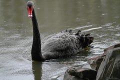 Zwarte zwaan Stock Foto