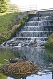 Zwarte Zwaan die dichtbij Mens Gemaakte Watercascade nestelen Stock Foto