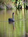 Zwarte zwaan die in een meer in Travis Wetland Nature Heritage Park in Nieuw Zeeland zwemmen Royalty-vrije Stock Afbeeldingen