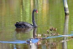 Zwarte zwaan die in een meer in Travis Wetland Nature Heritage Park in Nieuw Zeeland zwemmen Royalty-vrije Stock Fotografie