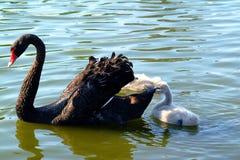 Zwarte zwaan en baby stock foto