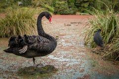 Zwarte Zwaan en van Nieuw Zeeland Moeraskip royalty-vrije stock foto