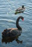 Zwarte zwaan en wilde eend stock foto