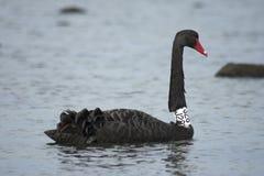 Zwarte zwaan in het overzees/oceaan, geëtiketteerde zwarte zwaan Stock Foto's