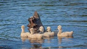 Zwarte Zwaan het Voeden Jonge zwanen Stock Fotografie