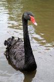 Zwarte zwaan in het water royalty-vrije stock foto's