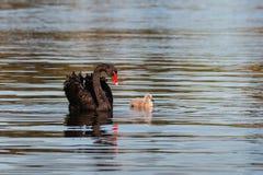 Zwarte Zwaan met Jonge zwaan royalty-vrije stock afbeeldingen