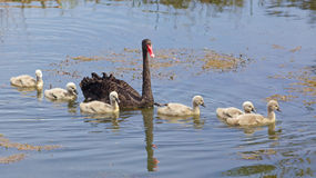 Zwarte zwaan met jonge zwanen Royalty-vrije Stock Afbeelding