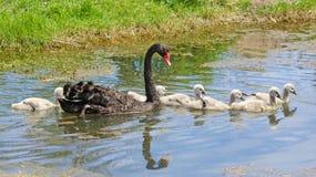 Zwarte zwaan met jonge zwanen Royalty-vrije Stock Foto