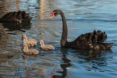 Zwarte zwaan met jonge zwanen royalty-vrije stock afbeeldingen