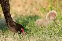 Zwarte zwaan met kuiken Stock Afbeeldingen
