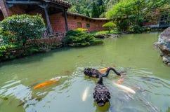 Zwarte zwaan in nanyuan: Land van terugtocht en wellness Stock Afbeelding