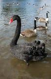 Zwarte zwaan op de rivier Royalty-vrije Stock Foto